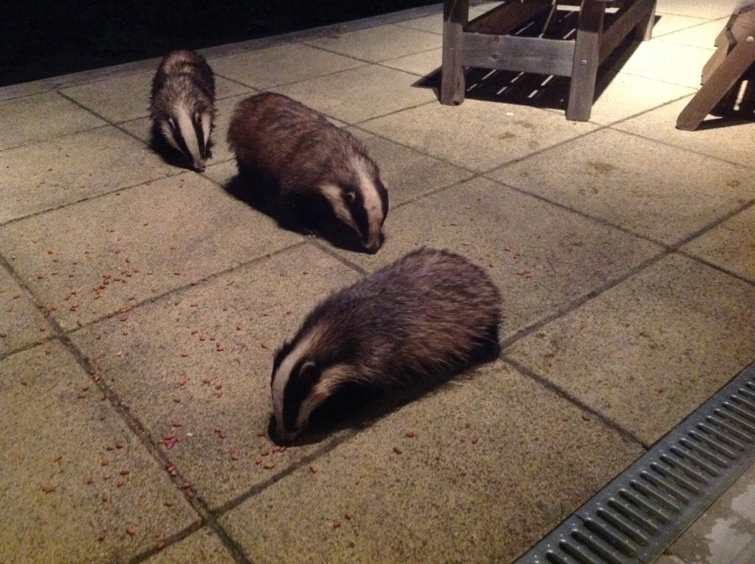 3 badgers